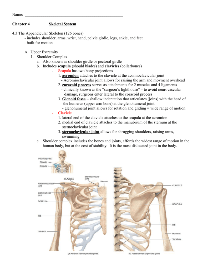 which appendicular bones have a styloid process