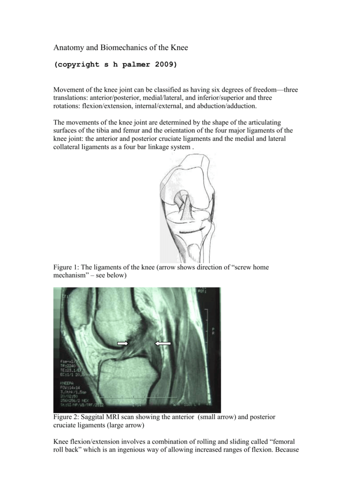 Anatomy and Biomechanics of the Knee