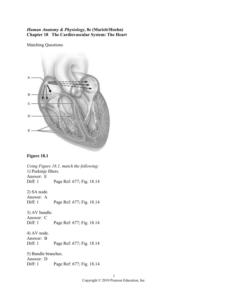 Human Anatomy & Physiology, 8e (Marieb/Hoehn)