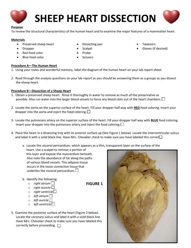 Sheep Heart Dissection Lab
