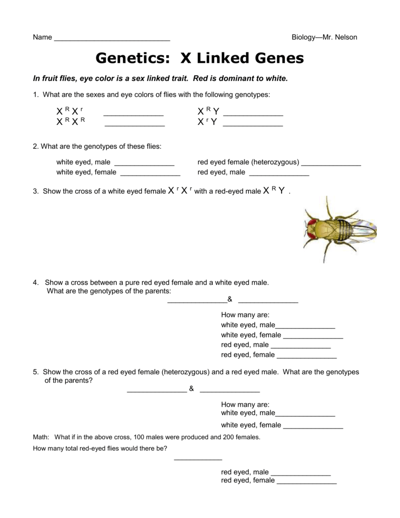 X Linked Traits Genetics Worksheet.doc