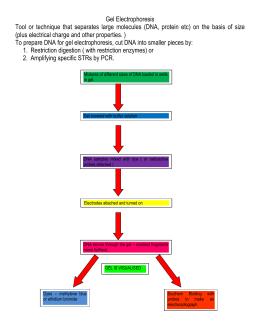 31 Gel Electrophoresis Virtual Lab Worksheet Answer Key ...