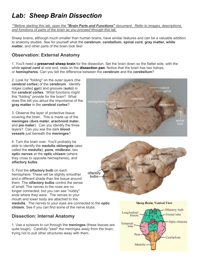 Lab - Sheep Brain Dissection (word)