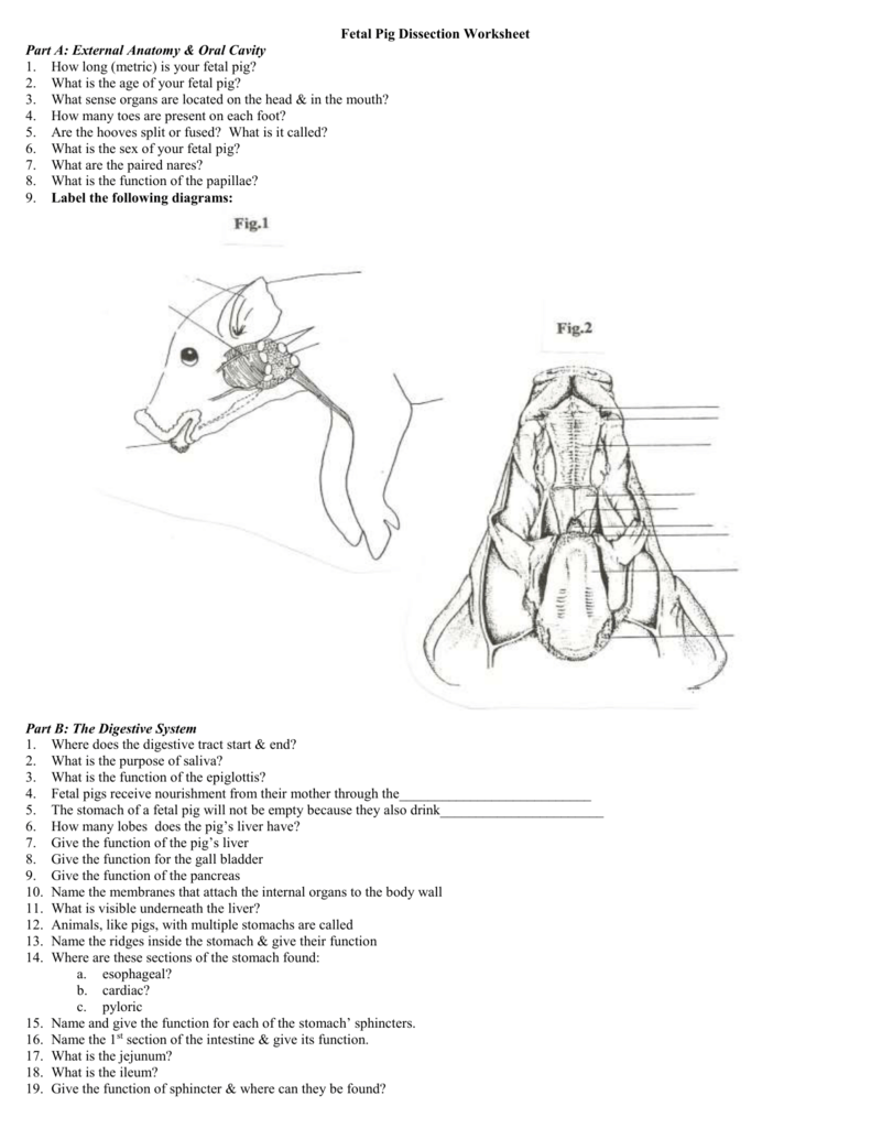 fetal pig anatomy diagram