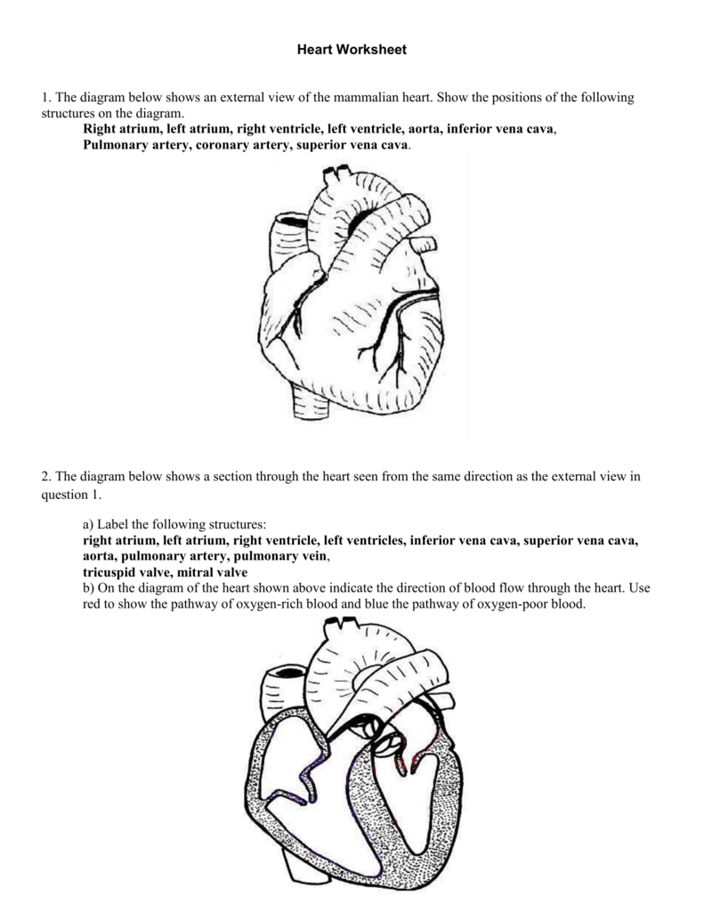 4 Heart Worksheet – Blood Flow Through the Heart Worksheet