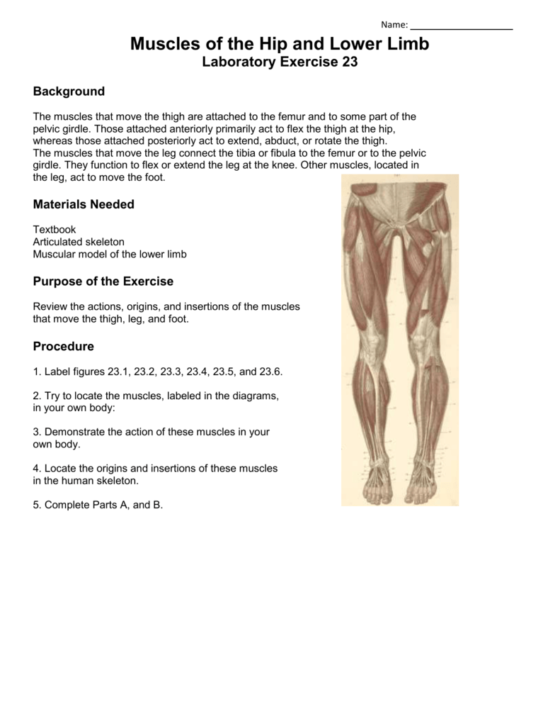 Muscles Of The Hip And Lower Limb Laboratory Exercise 23