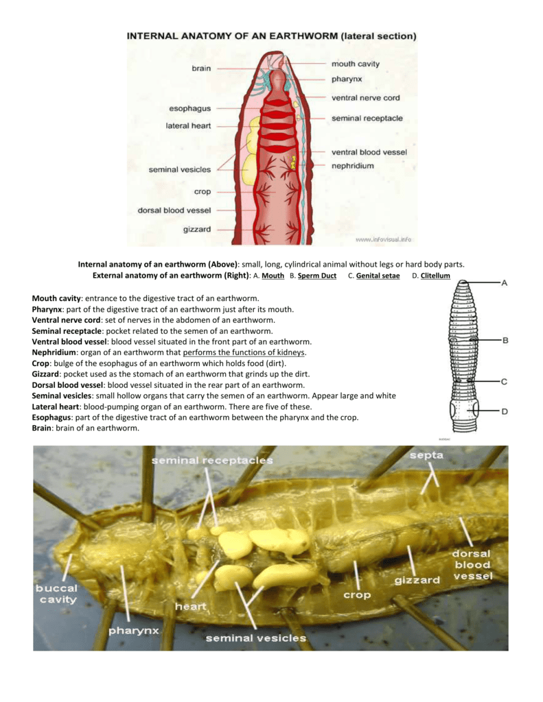 External Anatomy Of Earthworm Gallery - human body anatomy