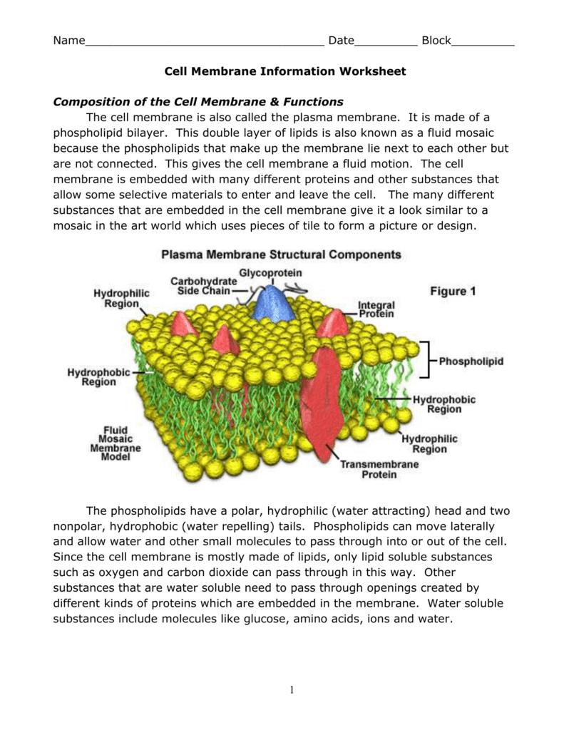 Cell Membrane Info Worksheet