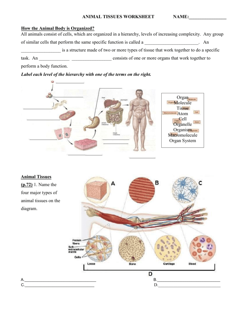 Animal Tissue Worksheet