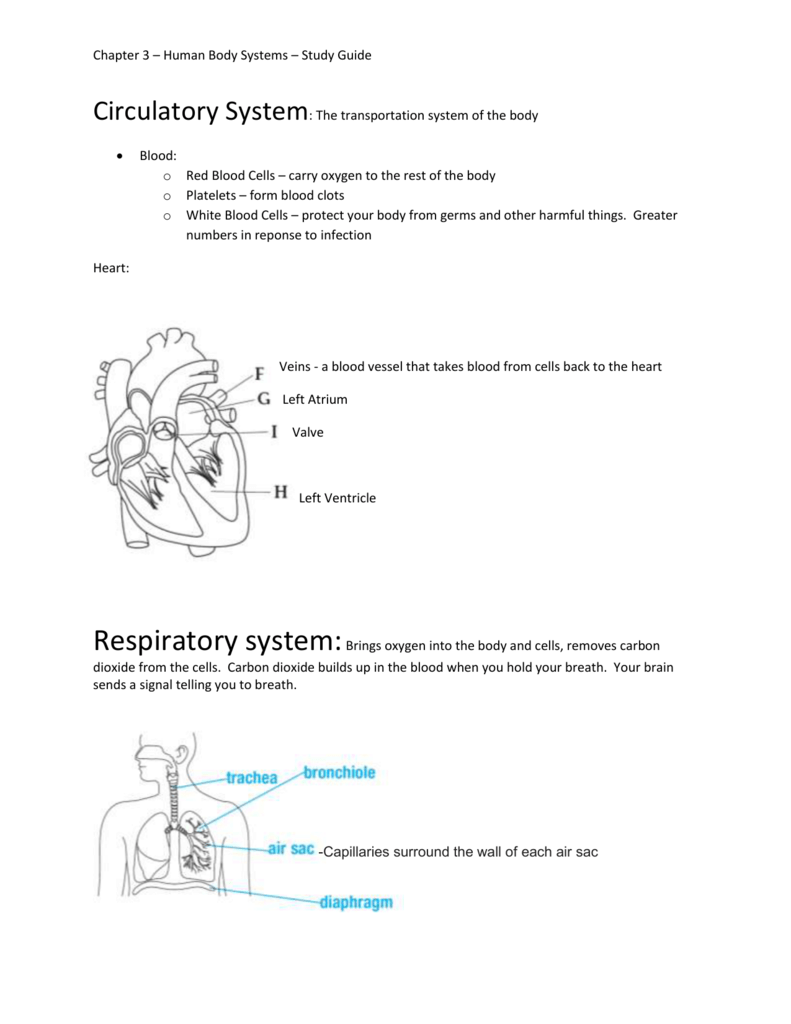 Chapter 3 Human Body Systems Study Guide Circulatory