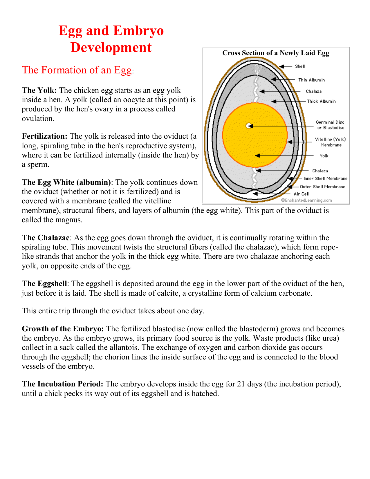 Eq 23 The Anatomy And Dissection Of A Chicken Egg