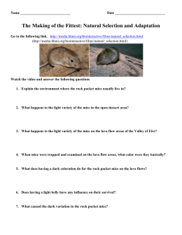 Natural Selection And The Rock Pocket Mouse Hhmi Biointeractive