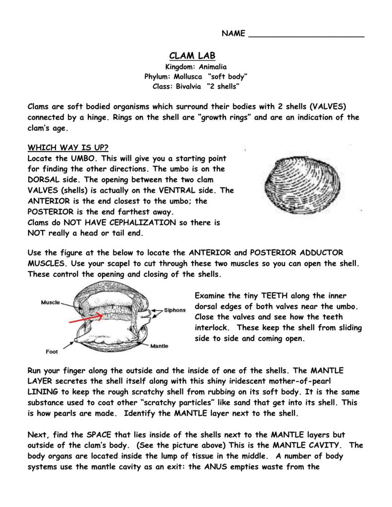 "NAME CLAM LAB Kingdom: Animalia Phylum: Mollusca ""soft body"