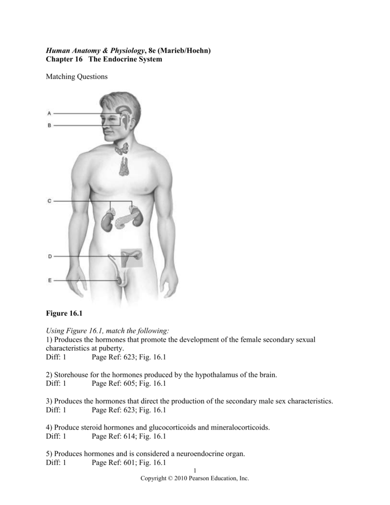Human Anatomy Physiology 8e Mariebhoehn