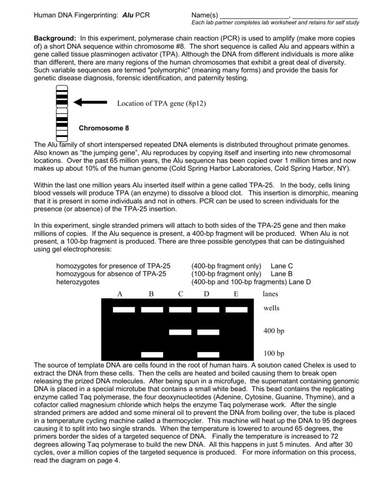Human DNA Fingerprinting Alu PCR – Dna Fingerprinting Worksheet