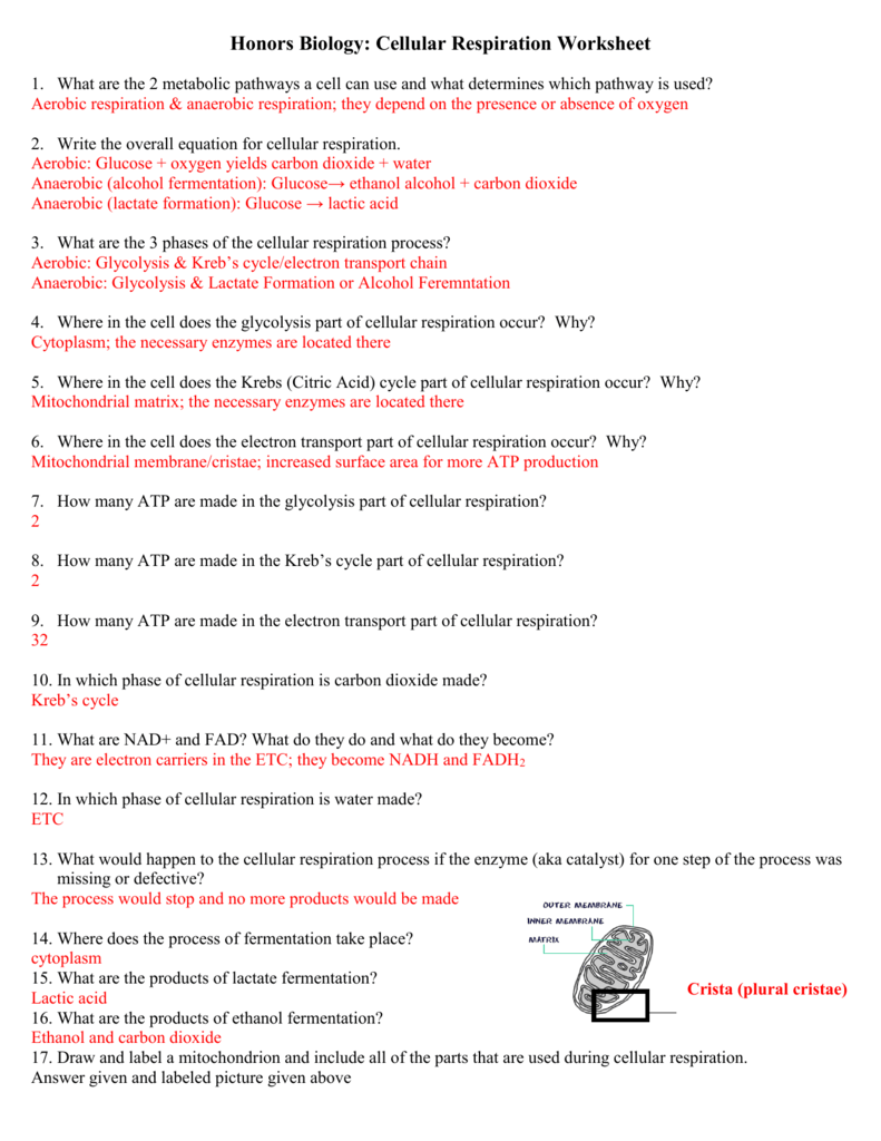 Worksheets Cellular Respiration Worksheet respiration worksheet