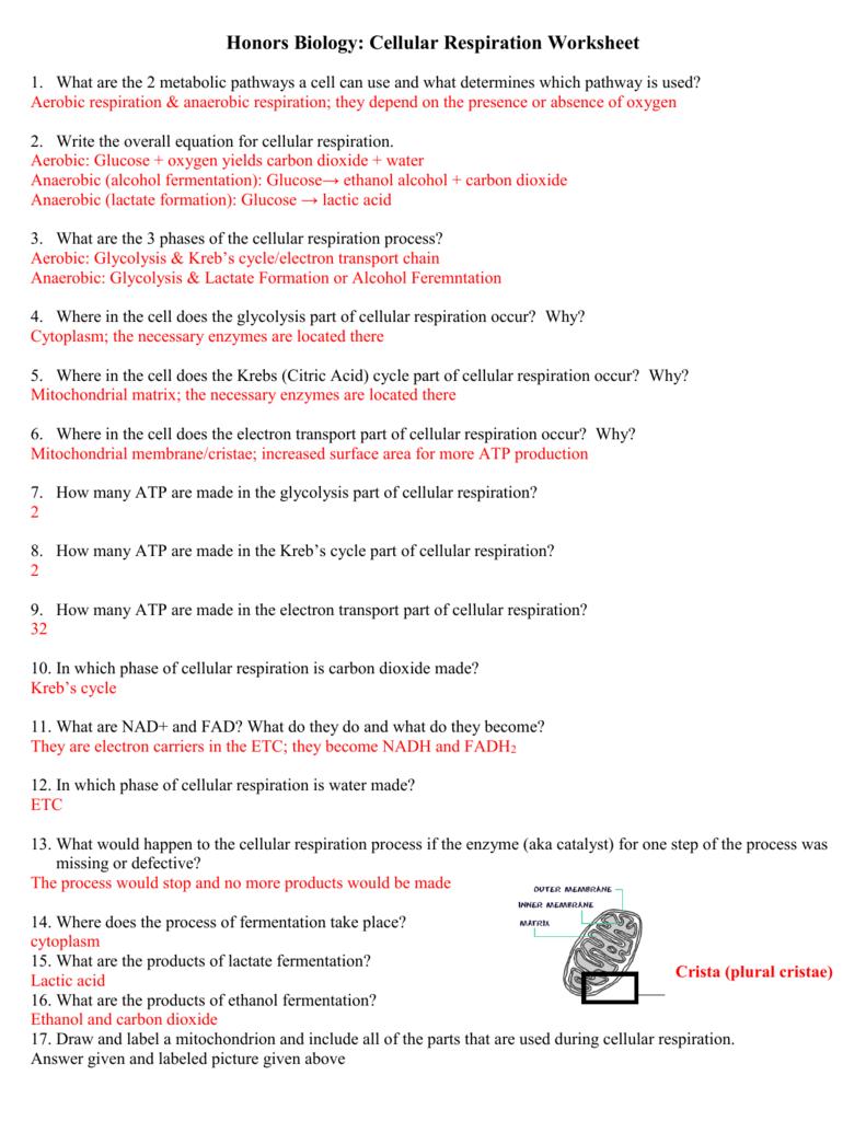 35 Overview Of Cellular Respiration And Fermentation Worksheet Worksheet Project List