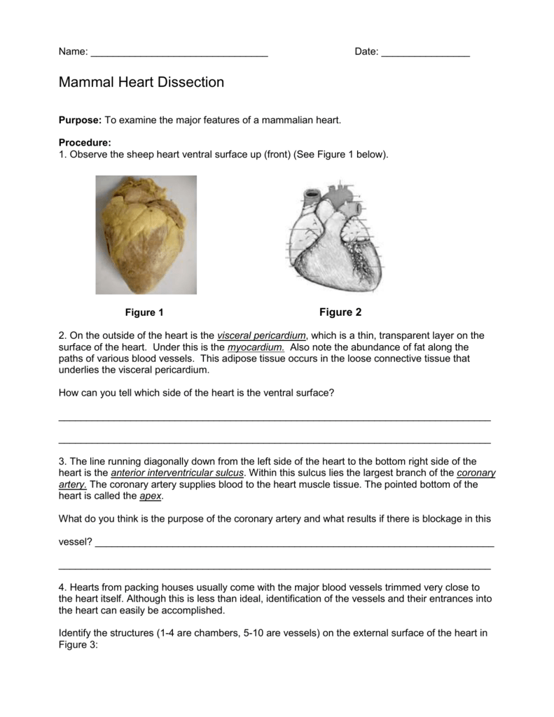 worksheet Heart Dissection Worksheet sheep heart dissection lab