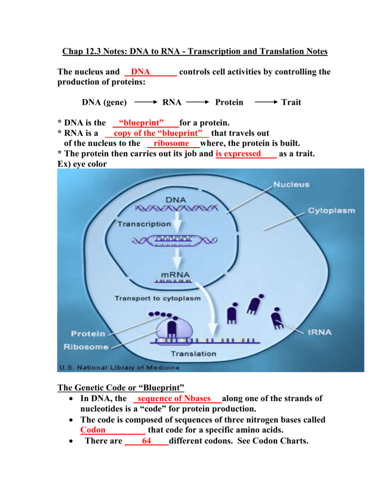 Dna to rna transcription and translation notes malvernweather Choice Image