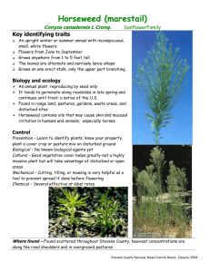 Horseweed (marestail)