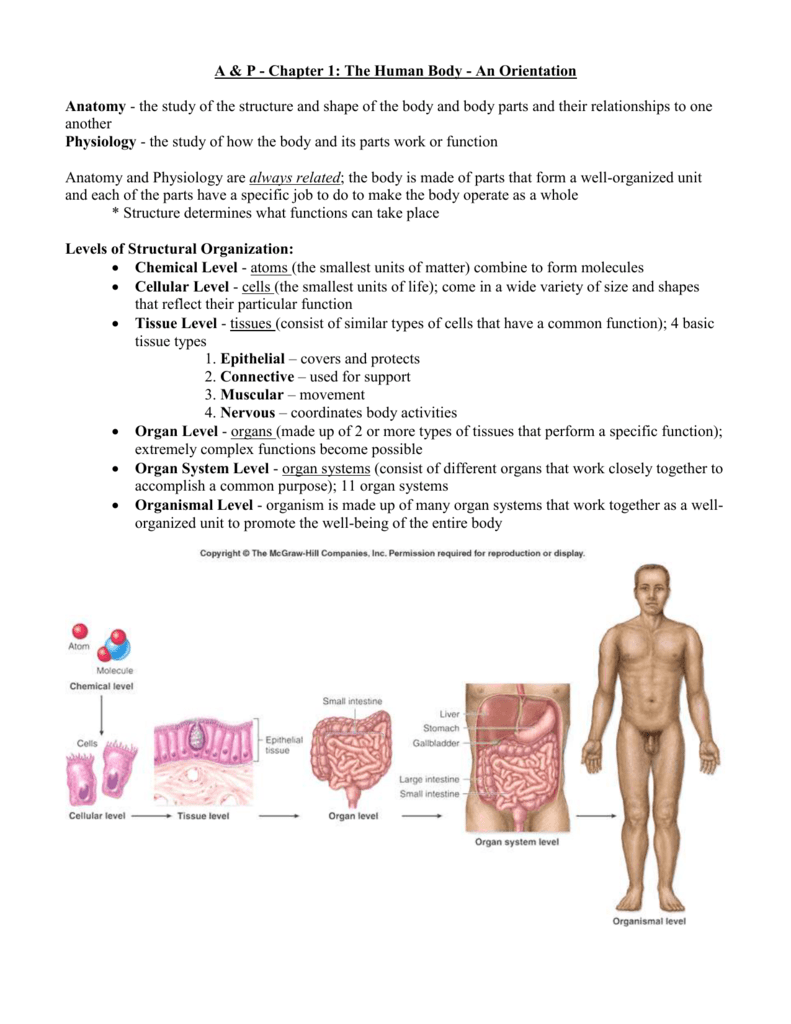 A P Chapter 1 The Human Body An Orientation Anatomy