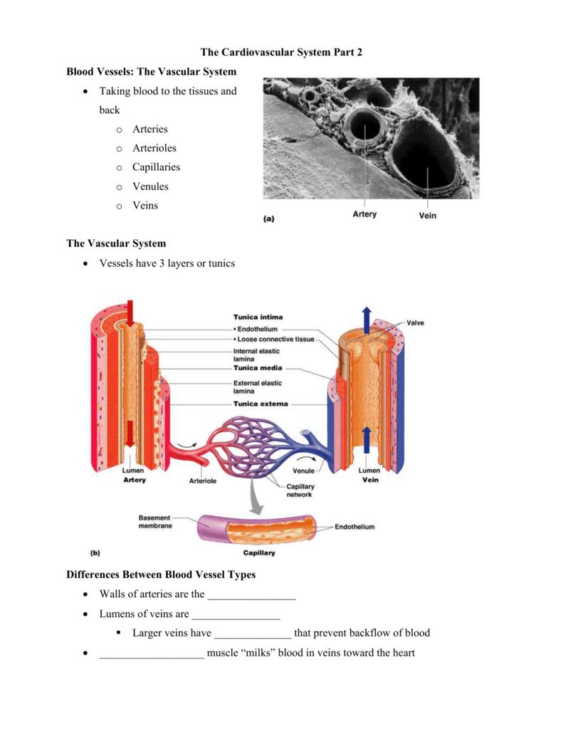 Blood Vessels The Vascular System