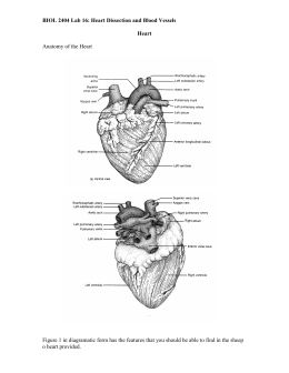 Biol 2404 lab 17 heart dissection and blood vessels ccuart Gallery