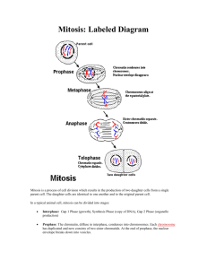 Mitosis: Labeled Diagram