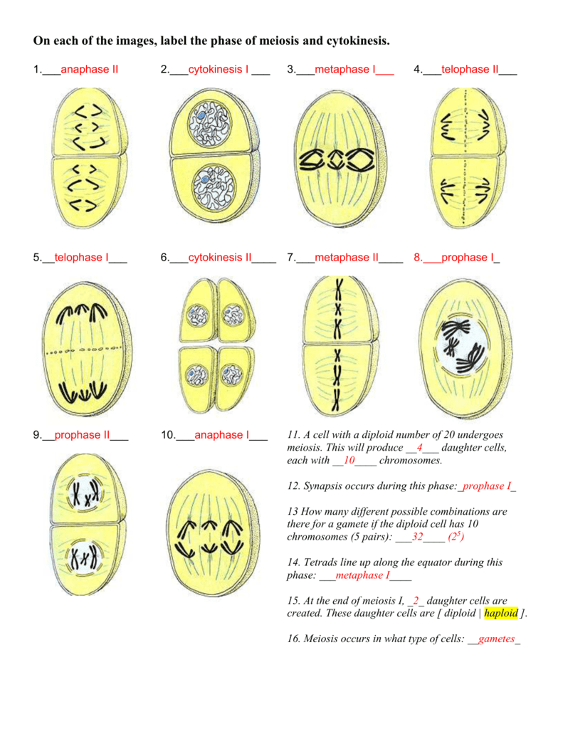 On each of the images, label the phase of meiosis