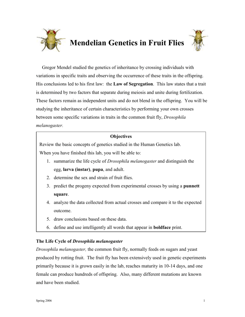 Exploring mendelian genetics worksheet answers