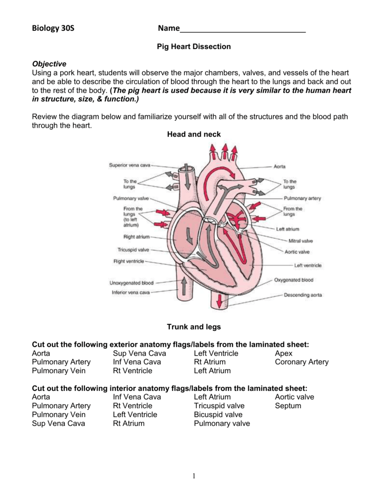 Sheep Heart Dissection