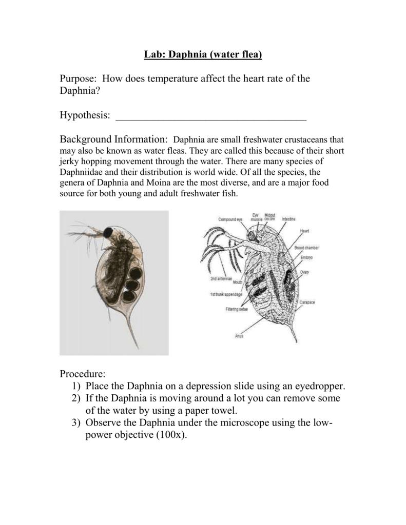 Lab Daphnia Water Flea
