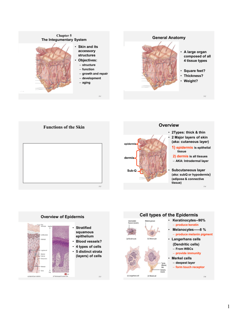 Cell types of the Epidermis