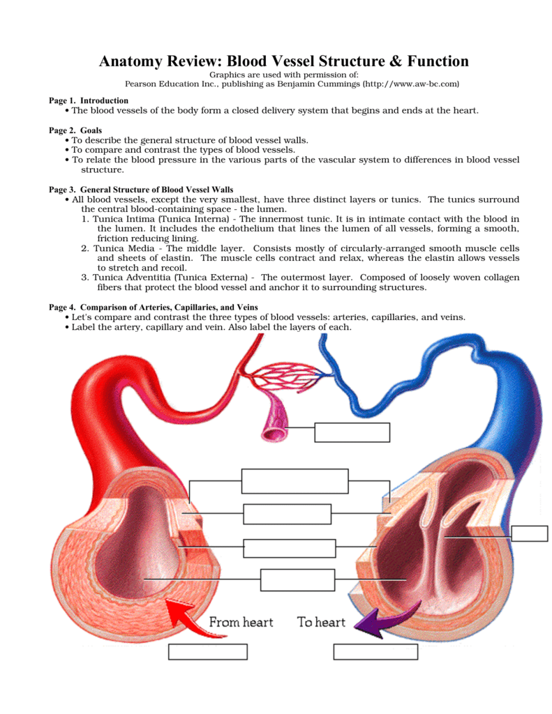 Anatomy Review Blood Vessel Structure Function