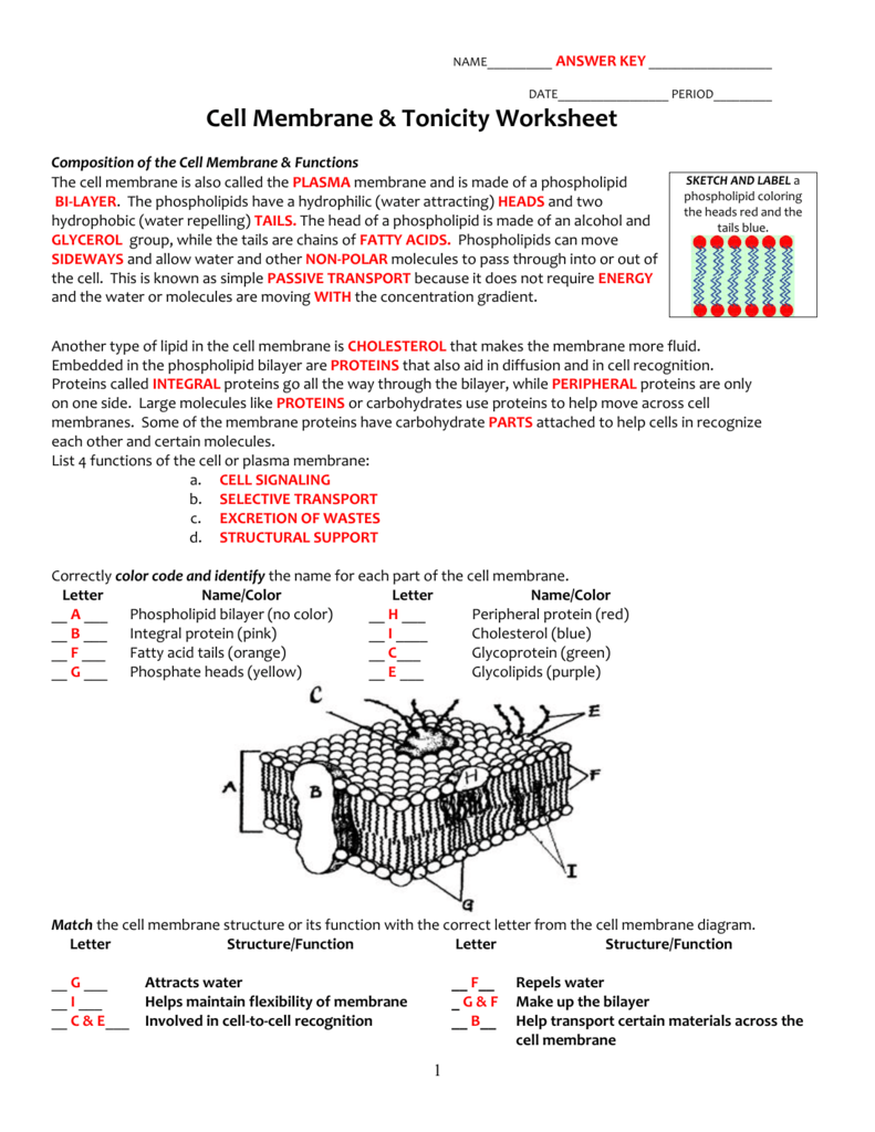 30 Transport Across Cell Membrane Worksheet Answers - Free ...