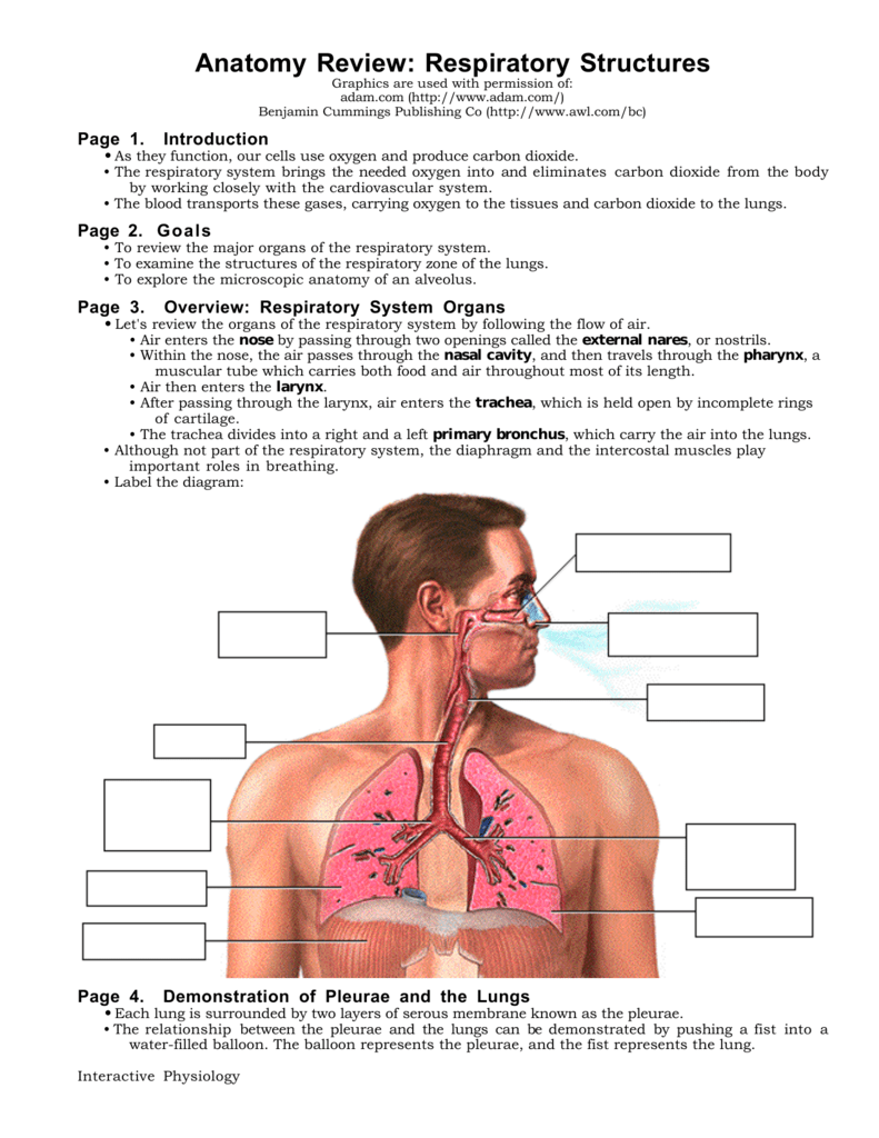 Anatomy Review Respiratory Structures
