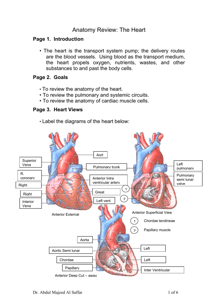 Anatomy Review The Heart
