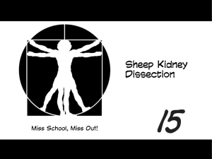 Sheep Kidney Dissection