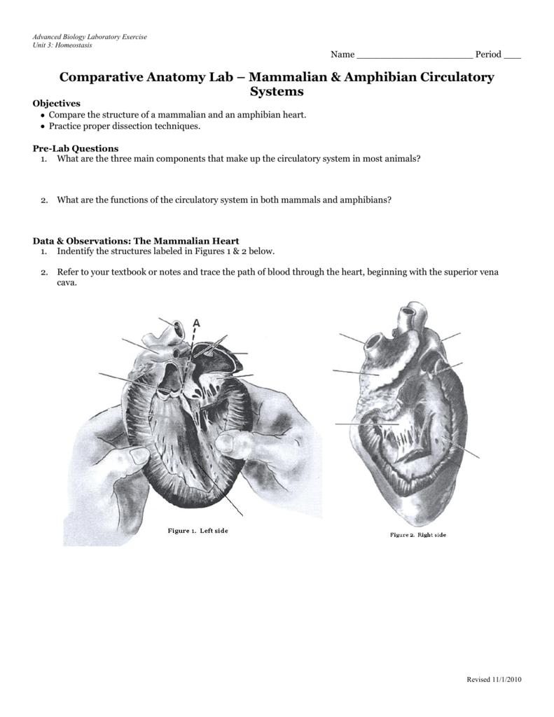 Comparative Anatomy Lab – Mammalian & Amphibian Circulatory