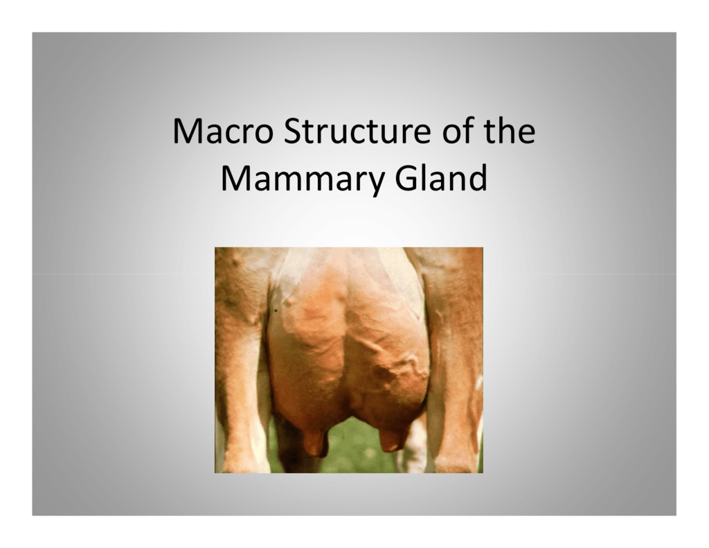 Macro Structure of the Mammary Gland