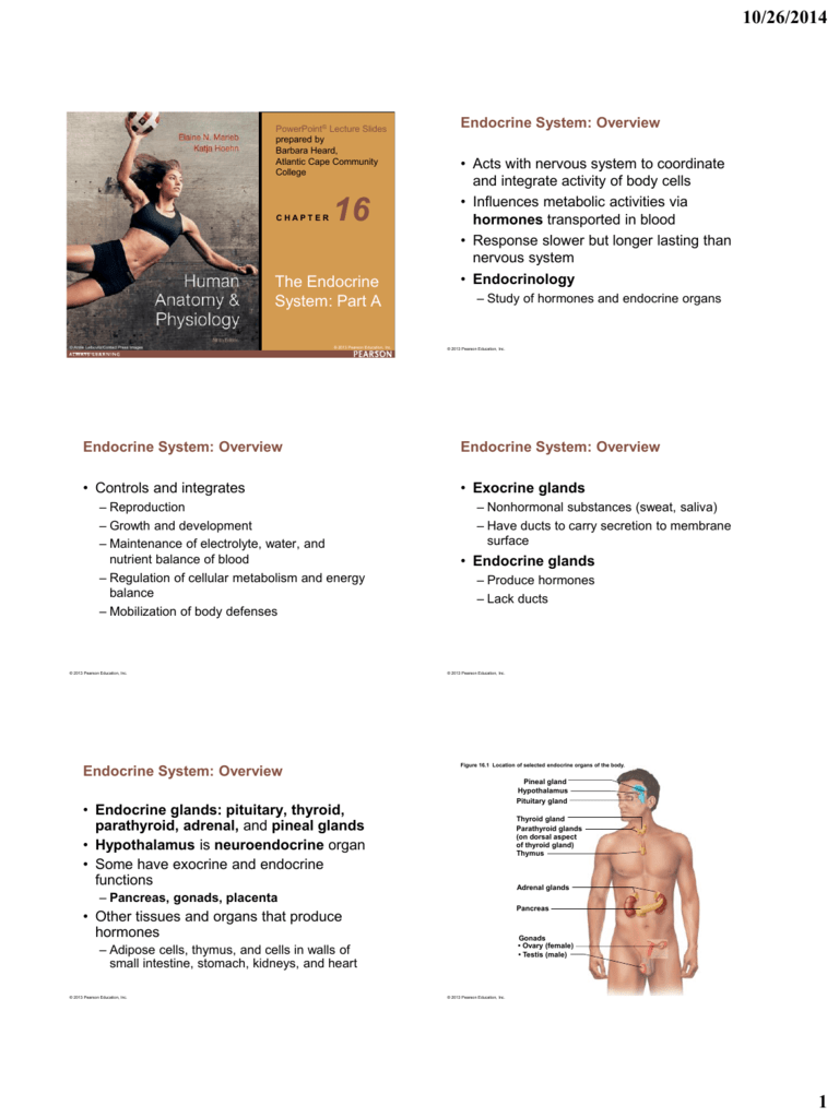 Human Anatomy Physiology The Endocrine System Part A