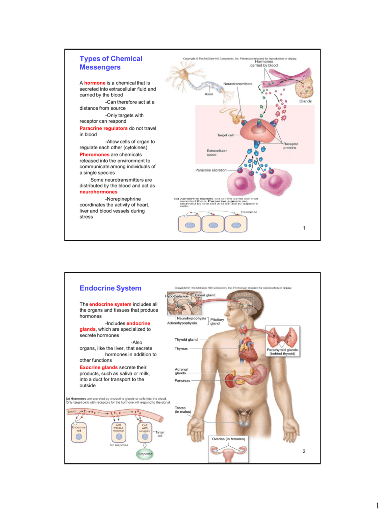 Types Of Chemical Messengers Endocrine System