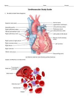 Structure of the Heart & Circulation Review Answer Key