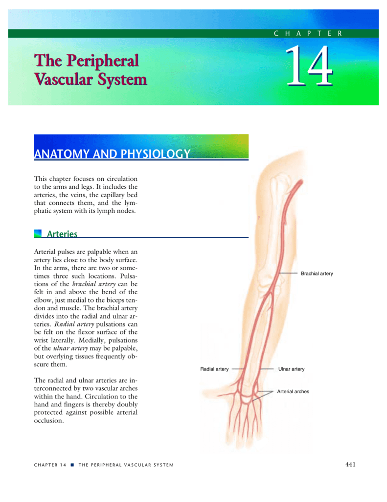 The Peripheral Vascular System The Peripheral Vascular System