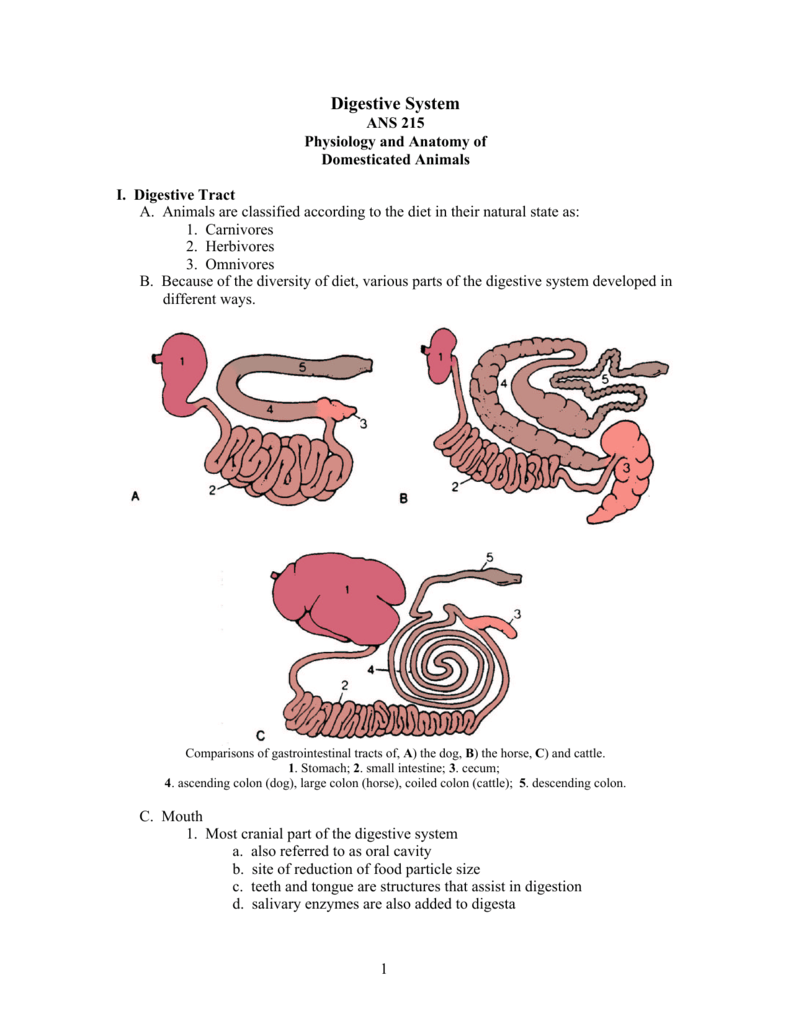 Horse Digestive Anatomy | www.topsimages.com