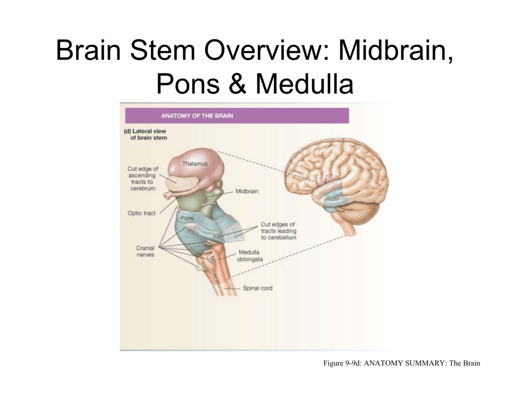 Brain Stem Overview: Midbrain, Pons & Medulla
