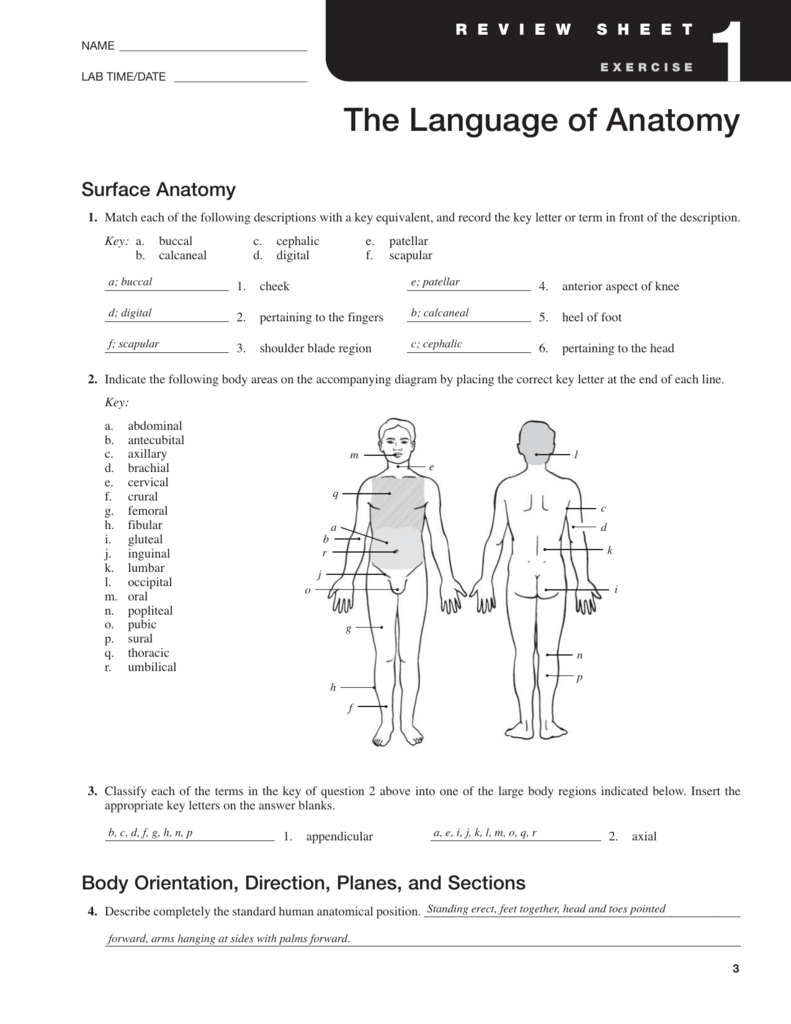 Surface Anatomy halkuffanatomy – Body Regions Worksheet