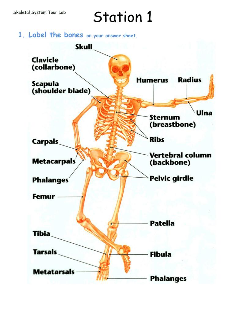 Skeletal System Tour Lab