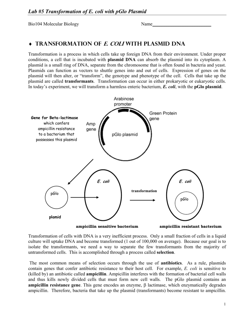 a lab report paper on pglo bacterial transformation kit essay (results page 2) view and download lab report essays examples also discover topics, titles, outlines, thesis statements, and conclusions for your lab report essay.