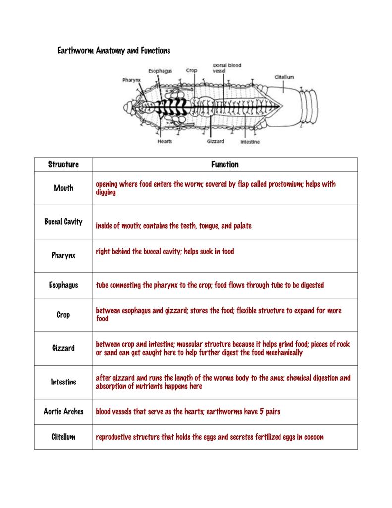 Earthworm Anatomy and Functions